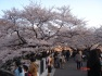 Sakura - Cherry blossoms in full bloom :)